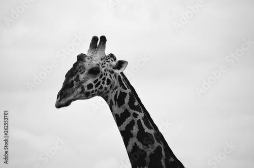 Photo  B&W portrait of giraffe