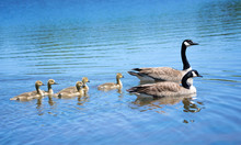 Canada Goose Family Swimming I...