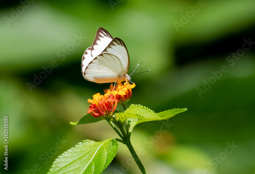 A Great Southern White butterfly feeds on a Lantana flower.