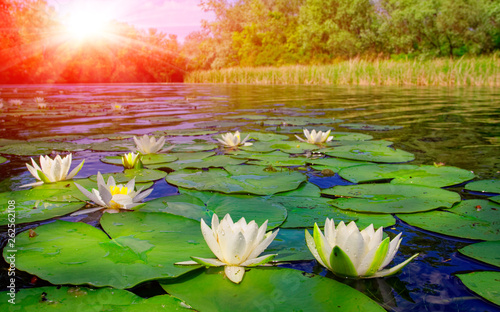 Photo Stands Water lilies water lily on lake