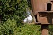 Garten-Pfautaube vor dem Flugloch eines Taubenhauses