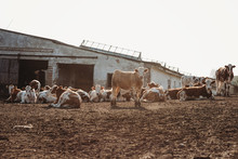Cattle Stock Breed For Meat In...