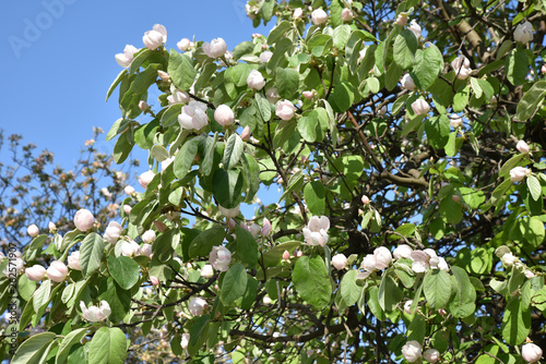 Cognassier en fleurs au printemps Fotobehang