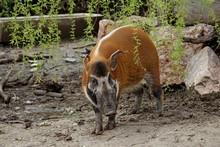 Red River Hog (Potamochoerus Porcus Pictus)