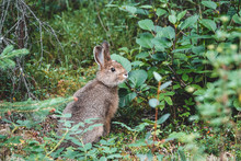 Snowshoe Hare On The Grass In ...