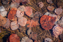 Submerged Aspen And Cottonwood Leaves