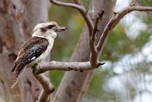 Kookaburra Sitting In A Gum Tree In Australia