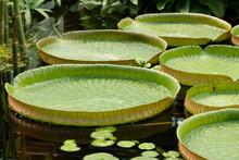 Victoria Amazonica Is The Largest Waterlily In The World. Many Leaves Of Victoria Amazonica Floating In Water Close-up