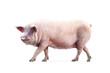 Leinwanddruck Bild - walking pig isolated on white background