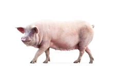 Walking Pig Isolated On White ...