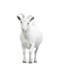Goat Isolated On White Backgro...