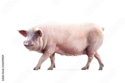 Fotografía  walking pig isolated on white background