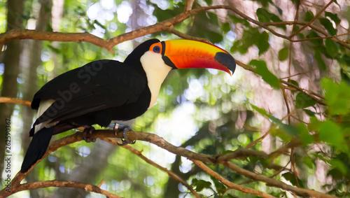 Fotobehang Toekan Toco toucan