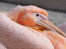 Close Up Of The Face Of A Pink Pelican In Pathos Harbour In Cyprus