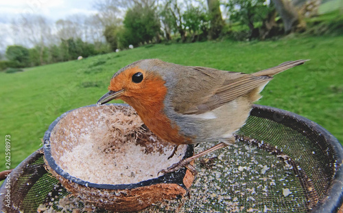 Pinturas sobre lienzo  The European robin feeding from an Insect Suet on a bird table in UK