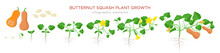 Butternut Squash Plant Growth Stages Infographic Elements In Flat Design. Planting Process Of Cucurbita Moschata From Seeds, Sprout To Ripe Pumpkin Fruit, Life Cycle Isolated On White Background