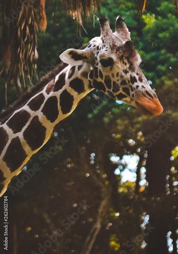 Photo  portrait of giraffe