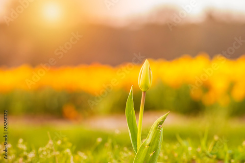 Garden Poster Narcissus Colorful blooming flower field with yellow Narcissus or daffodil closeup during sunset.