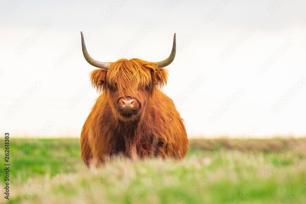 Fototapeta Highland cattle, Scottish cattle breed Bos taurus with big long horns