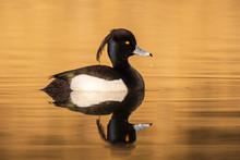 Male Tufted Duck, Aythya Fuligula, Closeup