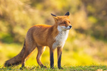 Wild Red Fox Vulpes Vulpes