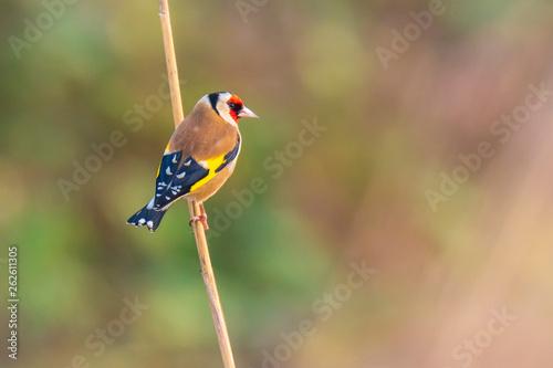 Fotografie, Obraz European goldfinch bird, (Carduelis carduelis), perched on the lookout