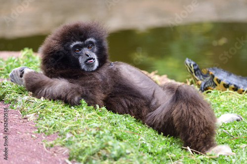 Carta da parati Portrait of a gibbon lying on the ground by the waters edge