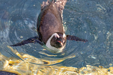 Penguin Is Swimming Alone In Water
