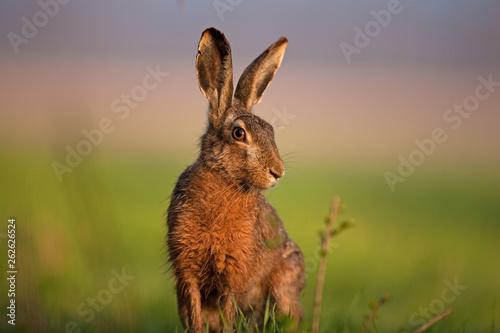 European hare, lepus europaeus Fototapet