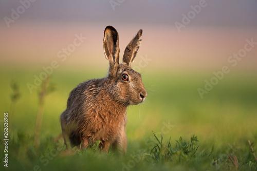 Tablou Canvas European hare, lepus europaeus