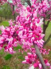 My Redbud Tree