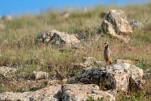 Chukar Partridge. Natural Habitat Background. Bird: Alectoris Chukar.