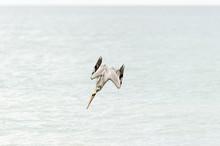 Pelican Diving Flying