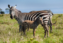 Mother And Baby Grant's Zebra ...