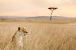 A single female lion looks over the savanna of Massai Mara, Kenya