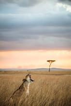Lioness Yawning, Masai Mara, Kenya
