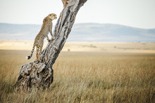 Young Male Cheetah Looks Out From Tree In Massai Mara, Kenya