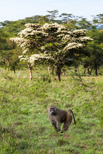 Lone Male Olive Baboon In Gras...