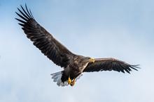 White Tailed Eagle In Flight. Blue Sky Background. Scientific Name: Haliaeetus Albicilla, Also Known As The Ern, Erne, Gray Eagle, Eurasian Sea Eagle And White-tailed Sea-eagle.