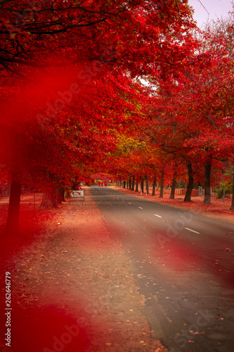 Photo sur Toile Rouge mauve Beautiful Trees in Autumn Lining Streets of Town