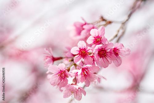 Fotobehang Kersenbloesem Pink cherry blossom, beautiful flowers in spring season