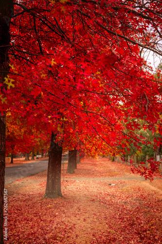 Foto op Aluminium Koraal Beautiful Trees in Autumn Lining Streets of Town