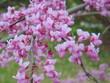 Flowering redbud tree