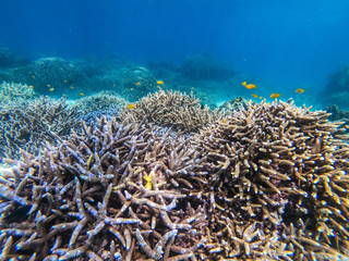 Naklejka na ściany i meble beautiful coral in diving spot at Boulder island