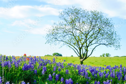 View of blooming bluebonnet wildflowers along countryside with tree near Texas H Wallpaper Mural
