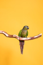 Parakeet On A Gold Background ...