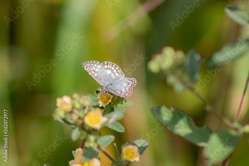 Fototapety, obrazy: borboletas e mariposas se alimentando do orvalho de manhã