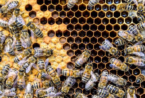 Honey bee beehive Wax Frame with bees breed Fotobehang