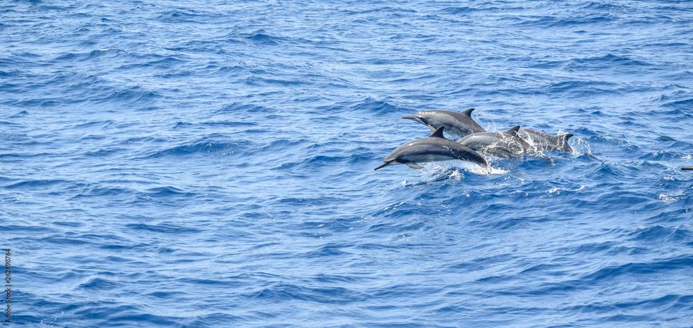oceanic dolphins