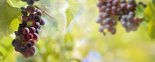 Panoramic View On O Black Grapes Growing In Foliage Lighting By The Sun